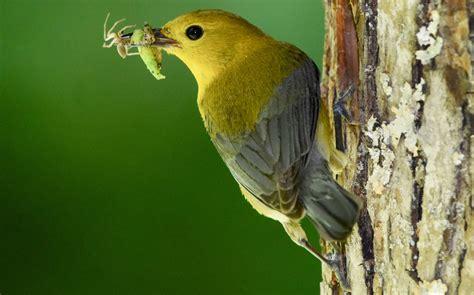 birds of north carolina summer 187 bird watcher s digest