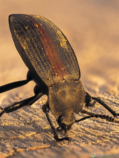 darkling beetle insect macro