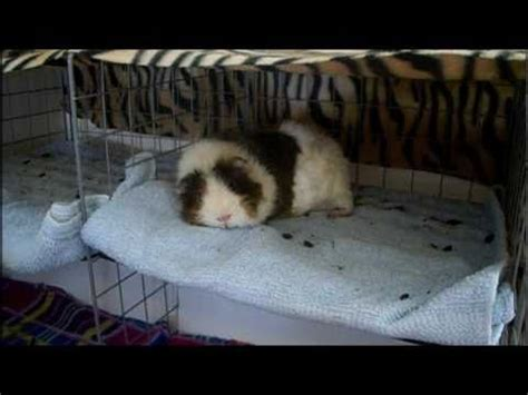 Pine Bedding For Guinea Pigs by 26 Best Images About Piggie Cages On Cavy