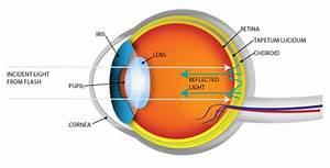 The Science Behind Eyeshine