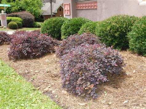 low growing bushes replace overgrown foundation plants with better choices tallahassee com community blogs