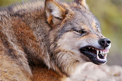 Angry Wolf Wallpaper Hd 1080p by Photography Of Angry Wolf Hd Wallpaper Wallpaper Flare