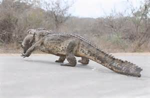 Huge Alligator Found in Florida
