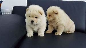 Chunky Chow Chow Puppies for adoption - Lebanon in a Picture