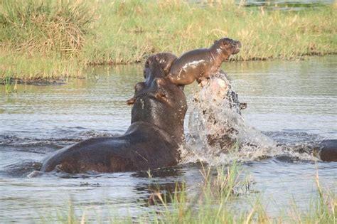 la mere hippopotame sauve son bebe
