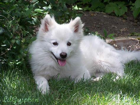 16 best miniature american eskimo dogs images on pinterest