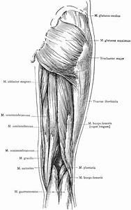 Posterior View Of The Superficial Muscles Of The Thigh