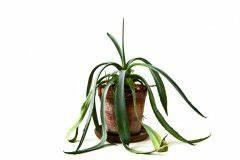 Schmucklilie überwintern Gelbe Blätter : agave bekommt gelbe bl tter woran kann 39 s liegen ~ Eleganceandgraceweddings.com Haus und Dekorationen