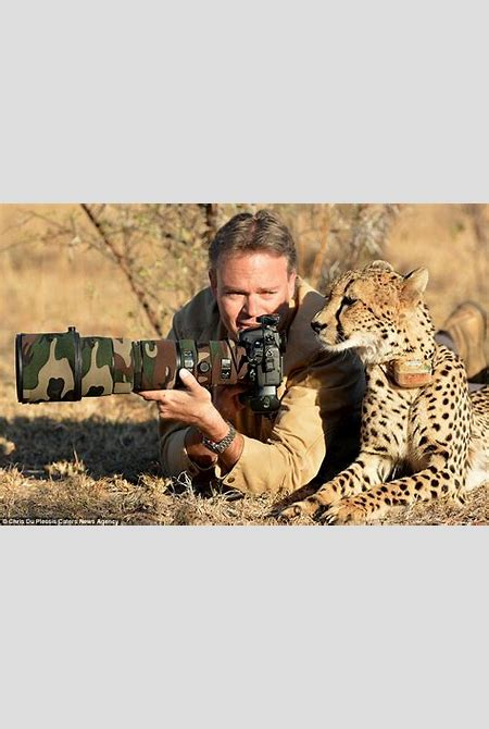 Amazing moment a cheetah lies down next to a photographer and even lets him stroke his head ...