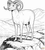 Sheep Coloring Bighorn Mountain Rocky Pages Mountains Printable Animals Clipart Colorado Drawings Supercoloring Adult Crafts Books Colouring Animal Category Detailed sketch template