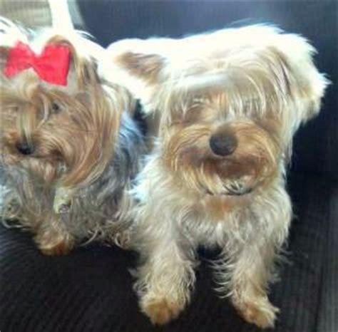 male  female yorkies yorkshire terrier information
