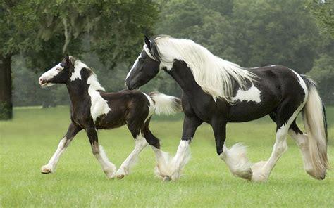 tinker mare  foal wallpaper widescreen hd