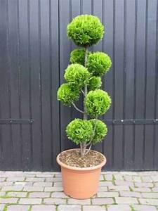 Chamaecyparis lawsoniana 39stardust39 pon pon extra garten for Garten planen mit bonsai acer
