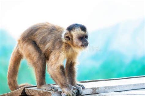 monkey   distance stock image image  fluffy
