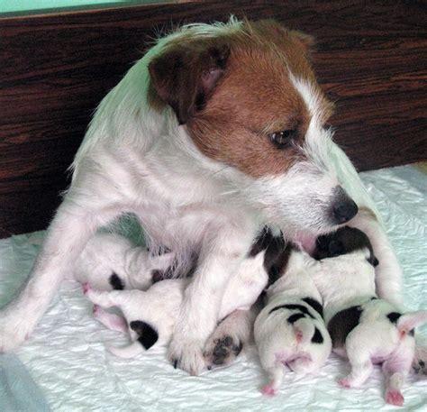 hundezucht armonia canina  top australischer jack