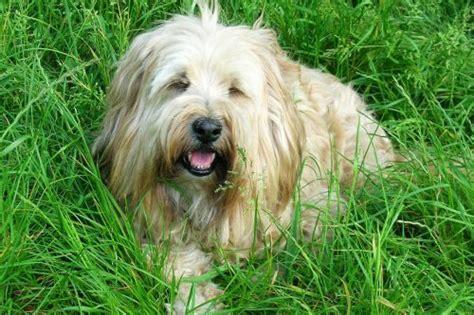 Hundebürste Für Yorkshire Terrier