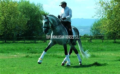 horses andalusian dressage sport horse conformation