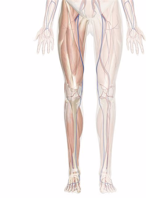 The muscle groups of the upper leg region are the gluteal group, the quadriceps group,the adductor group right: Cardiovascular System of the Leg and Foot