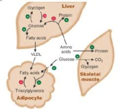 regulation  fuel metabolism  insulin  glucagon