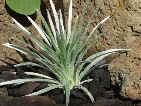 Rare and Endangered Plants Gallery   United States Botanic