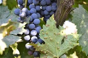 Pinot Noir Vintage Chart Meet Wine S Worst Enemy Phylloxera Wine Enthusiast