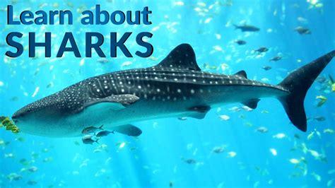 shark facts  kids kidspressmagazinecom