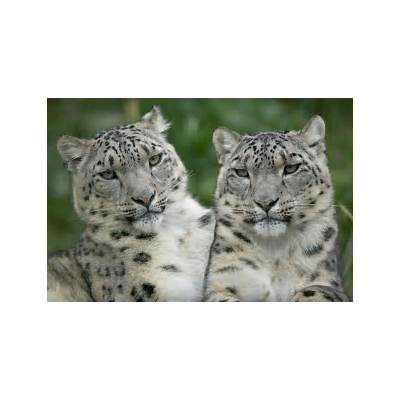 Animals Best Pictures Gallery: Snow Leopard Wallpaper