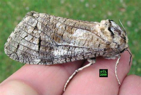 https://www.insectes-net.fr/cossus/gateb2.htm