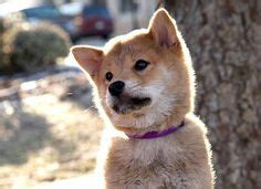 akita images shiba inu akita inu puppy akita