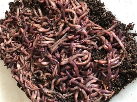 worms wiggler lb