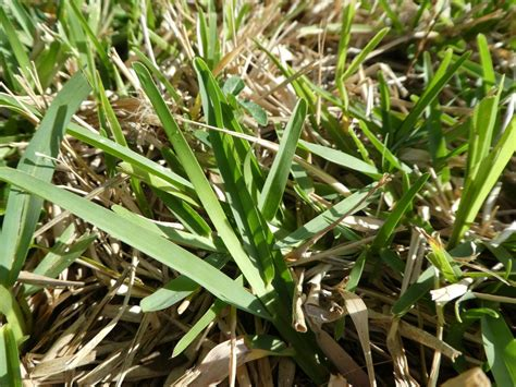 Weeds In Southern Turfgrasses
