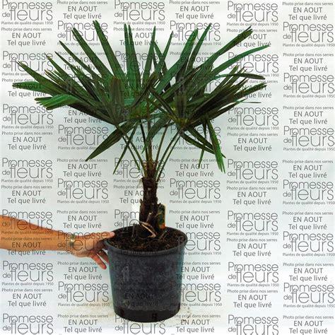 palmier de chine trachycarpus fortunei palmier chanvre chamaerops excelsa