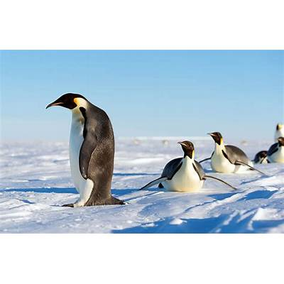 Emperor Penguin Related Keywords - Long