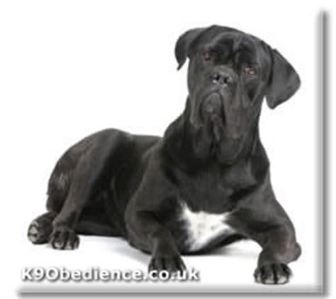 cane corso dog breed profile size weight temperament coat