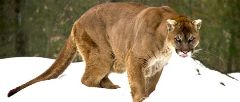 cougars  save lives  wildlife society