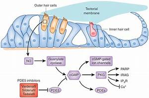 Pde5 Inhibition In The Rodent Inner Ear Provides