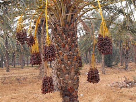 un valet de chambre serge et sylvie voyage en tunisie palmier dattier
