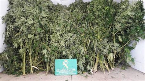 Detenido en La Victoria por la posesión de 80 plantas de ...