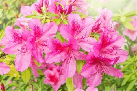 propagating rhododendrons growing azaleas thriftyfun