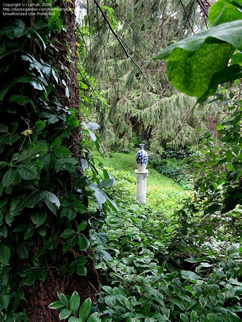 My Favorite Perennial Flowering Vines  Dave's Garden