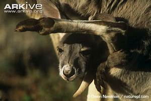 Red kangaroo photo - Macropus rufus - G54069 | Arkive