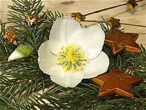 Christrose Im Zimmer : die au ergew hnlichste aller rosen wien magazin ~ Buech-reservation.com Haus und Dekorationen