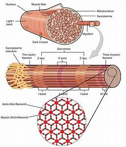 Skeletal Muscle Organization