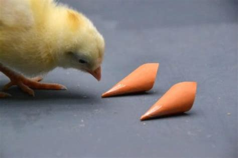 are chickens color blind chickens use color vision to find food mates