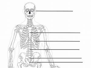 Axial And Appendicular Skeleton Unlabeled