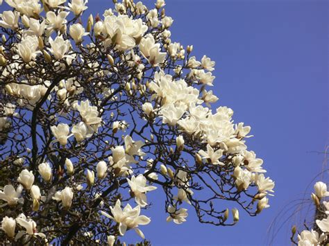 magnolia tree seed southern magnolia grandiflora seed zhong wei horticultural products company top quality plant