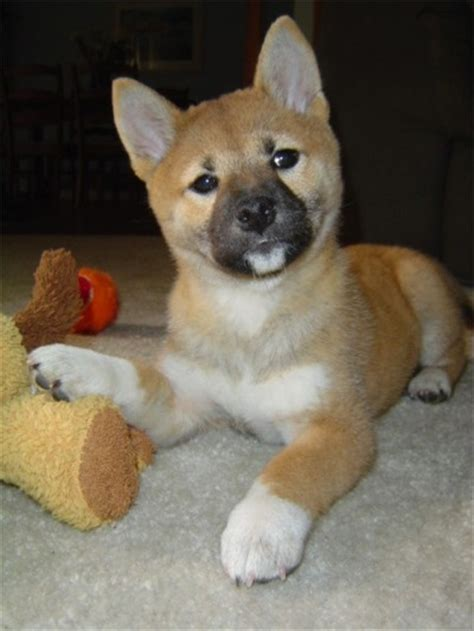 what months do akitas shed shiba inu photos pictures shiba inus page 4