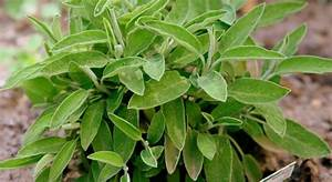 Pflanzen Sonniger Standort : salbei pflanzen biorhythmuskalender ~ Michelbontemps.com Haus und Dekorationen