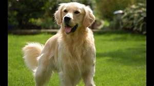 Golden Red River : 10 curiosidades sobre el golden retriever youtube ~ Orissabook.com Haus und Dekorationen