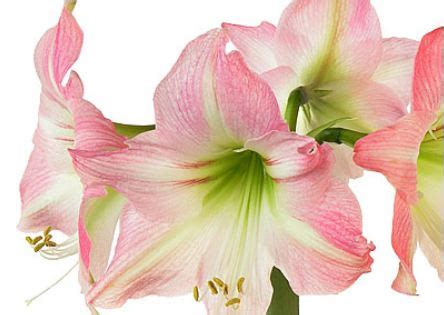 amaryllis blüht nicht amaryllis mijn liefste nicht ter herinnering aan proud2bme